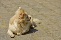 A little dog sitting waiting for hope. royalty free stock image