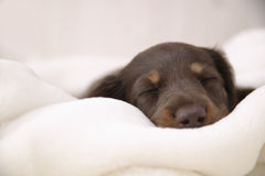 Little Dog sleeping. A Little Dog sleeping in white blanked Stock Images