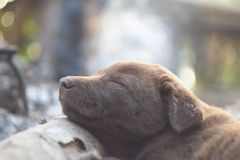 Dog sleeping sweet dream. Little dog is sleeping sweet dream.Her name is Brownie Royalty Free Stock Photo