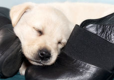 Little dog sleeping Stock Images