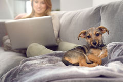 Little dog on sofa with owner. Little puppy dog laying over blanket on couch looking away with its owner woman with laptop blurred in background. Copy space Stock Photography