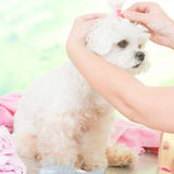 Little dog at spa Stock Image