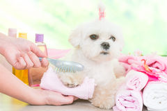 Little dog at spa. Being groomed with hairbrush Stock Images