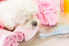 Little dog at spa Royalty Free Stock Image