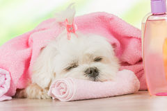 Little dog at spa. Resting after grooming Royalty Free Stock Photos