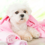 Little dog at spa Royalty Free Stock Photo