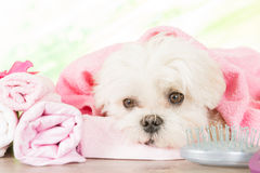 Little dog at spa Stock Images