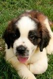 Little Dog St Bernard Royalty Free Stock Images