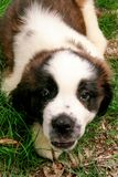 Little Dog St Bernard. In nature Royalty Free Stock Photography