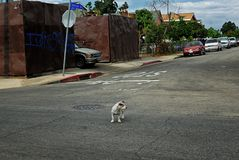 Tough guy gang member standing in the middle of the street. A little dog starring something down the middle of the road just daring you Royalty Free Stock Photography