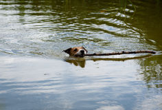 Little dog swimming and fetching big stick from water Royalty Free Stock Images