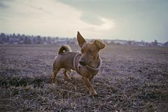 Little dog walking on a meadow in the winter time at sunset royalty free stock photography