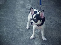 Little dog walking on the street Royalty Free Stock Photography