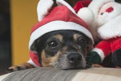 Little dog wearing red Santa Claus suit with Santa Claus doll Royalty Free Stock Photo