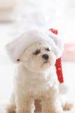 Little dog wearing Santa Claus hat. Cute little dog Maltese wearing Santa Claus hat Royalty Free Stock Photo