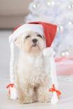 Little dog wearing Santa Claus hat. Cute little dog Maltese wearing Santa Claus hat Stock Photos