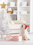 Little dog wearing Santa Claus hat. Cute little dog Maltese looking at Christmas tree wearing Santa Claus hat Royalty Free Stock Photo