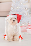 Little dog wearing Santa Claus hat. Cute little dog Maltese sitting with gifts near Christmas tree wearing Santa Claus hat Stock Photo