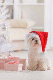 Little dog wearing Santa Claus hat. Cute little dog Maltese sitting with gifts near Christmas tree wearing Santa Claus hat Royalty Free Stock Photo
