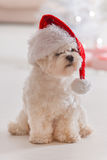 Little dog wearing Santa Claus hat. Cute little dog Maltese sitting with gifts near Christmas tree wearing Santa Claus hat Stock Photography