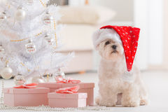 Little dog wearing Santa Claus hat. Cute little dog Maltese sitting with gifts near Christmas tree wearing Santa Claus hat Royalty Free Stock Images