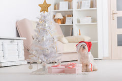 Little dog wearing Santa Claus hat. Cute little dog Maltese sitting with gifts near Christmas tree wearing Santa Claus hat Royalty Free Stock Image