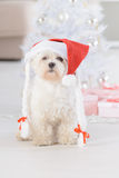 Little dog wearing Santa Claus hat. Cute little dog Maltese sitting with gifts near Christmas tree wearing Santa Claus hat Stock Images