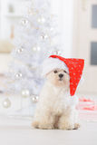 Little dog wearing Santa Claus hat. Cute little dog Maltese sitting with gifts near Christmas tree wearing Santa Claus hat Stock Image