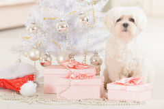 Little dog wearing Santa Claus hat. Cute little dog Maltese sitting with gifts near Christmas tree and Santa Claus hat Royalty Free Stock Photography