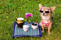 Little dog wearing t-shirt relaxing in meadow Stock Photography