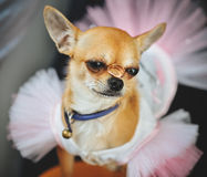 Little dog in wedding dress with rings Royalty Free Stock Photo