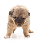 Little dog. Little dog on a white background Royalty Free Stock Photo