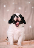 The little dog yawning Stock Images