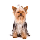 Little dog - Yorkshire Terrier Royalty Free Stock Images
