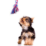 Little dog (Yorkshire Terrier) Royalty Free Stock Images