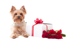 Little Dog Yorkshire Terrier Lying With Gift Box And Flowers Iso Stock Photo