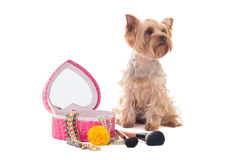 Little dog yorkshire terrier with mirror and make up brushes iso Royalty Free Stock Images