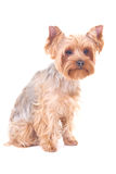 Little dog yorkshire terrier sitting isolated on white Stock Photography