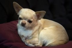 Little doggie Chihuahua lying on a red pillow, stock image