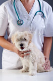 Little doggy at the vet Stock Photo