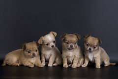 Free Little Dogs Stock Images - 13569554