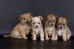 Free Little Dogs Stock Image - 13782631
