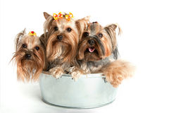 Little dogs. Little yorkshire puppies in the basket Royalty Free Stock Photos