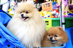 Little dogs royalty free stock image