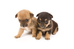Little dogs Stock Image