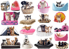 Little dogs in bed Royalty Free Stock Image