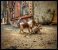 Little Dogs royalty free stock photography