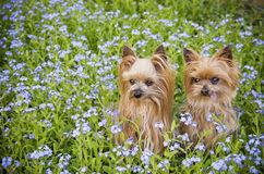 Little dogs in flower field. Two Yorkshire Terrier dogs sit in field of blue flowers Royalty Free Stock Photos