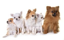 Little dogs in studio royalty free stock photography