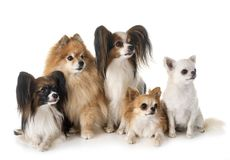 Little dogs in studio royalty free stock photos